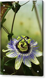 Passion Flower Blooms In A Greenhouse Acrylic Print by Robert L. Potts