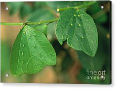 Passionflower Leaves Acrylic Print by Gregory G. Dimijian, M.D.