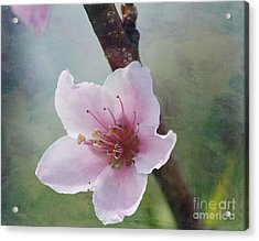 Peach Blossom 2 Acrylic Print by Cindi Ressler