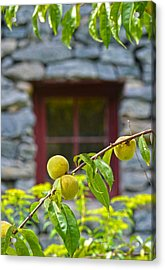 Peach Tree At The Old Mill Of Guilford Acrylic Print by Sandi OReilly
