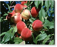 Peaches On Tree Acrylic Print by Lanjee Chee