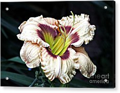Peachy With Ruffles Lily Acrylic Print by Elizabeth Winter