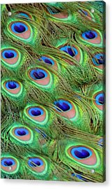 Peacock Feather Cascade Acrylic Print by Angelina Vick
