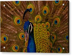 Peacock Acrylic Print by Jeff Swan