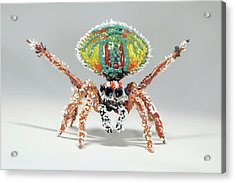 Peacock Spider Acrylic Print by Tomasz Litwin