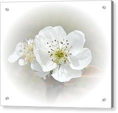 Pear Blossom Acrylic Print by Judy Hall-Folde