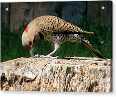 Pecking Flicker Acrylic Print by Lori Pessin Lafargue