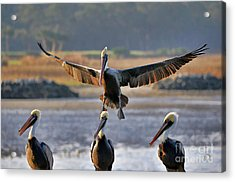 Pelican Coming In For Landing Acrylic Print by Dan Friend