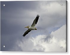 Pelican In Flight Acrylic Print by Thomas Young