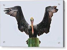 Pelican Poser Acrylic Print by Paulette Thomas