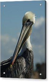 Pelican Profile Acrylic Print by Ernie Echols