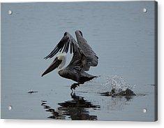 Pelican Takeoff Acrylic Print by Scott Dovey