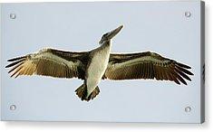 Pelican Wing Span Acrylic Print by Paulette Thomas