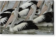 Pelicans Galore Acrylic Print by Bob Christopher