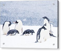 Penguins In The Snow Acrylic Print by Carol Walker