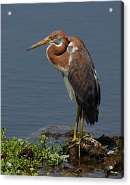 Pensive Acrylic Print by Dawn Currie