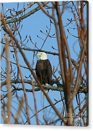 Perched American Bald Eagle  Acrylic Print by Neal  Eslinger
