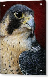 Peregrine Falcon Acrylic Print by Pat Erickson