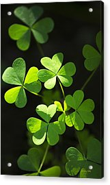 Perfect Green Shamrock Clovers Acrylic Print by Christina Rollo