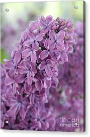 Perfect Lilac Acrylic Print by Jasna Buncic