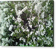 Perfect White Spring Blossoms Acrylic Print by PainterArtist FIN