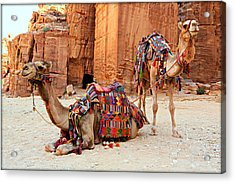 Petra Camels Acrylic Print by Stephen Stookey