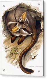 Petrogale Xanthopus      Ch 991244 Acrylic Print by English School