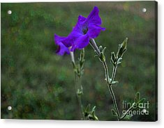 Petunia Botanical Study Acrylic Print by ARTography by Pamela Smale Williams