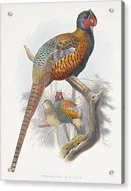 Phasianus Elegans Elegant Pheasant Acrylic Print by Daniel Girard Elliot