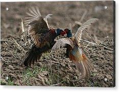 Pheasant Batle Acrylic Print by Dragomir Felix-bogdan