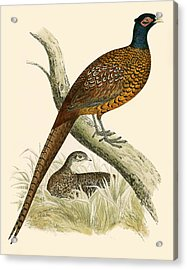 Pheasant Acrylic Print by Beverley R Morris