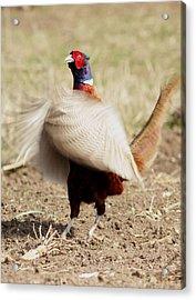 Pheasant Acrylic Print by Dragomir Felix-bogdan
