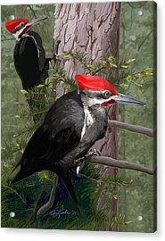 Pileated Woodpeckers Acrylic Print by Pam Little