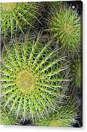 Pincushion Cactus  Acrylic Print by Ranjini Kandasamy