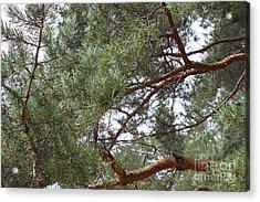 Pine Branches Acrylic Print by Evgeny Pisarev