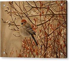 Pine Grosbeak Acrylic Print by Tammy  Taylor