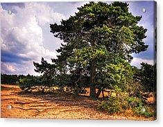 Pine Tree In Hoge Veluwe National Park 1. Netherlands Acrylic Print by Jenny Rainbow