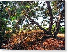 Pine Tree In Hoge Veluwe National Park 2. Netherlands Acrylic Print by Jenny Rainbow