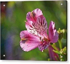 Pink Alstroemeria Flower Acrylic Print by Rona Black