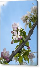 Pink And White Crabapple Flowers Acrylic Print by Laura Berman