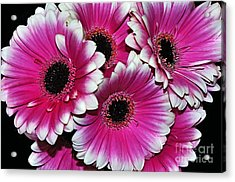 Pink And White Ornamental Gerberas Acrylic Print by Kaye Menner
