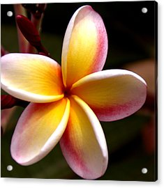 Pink And Yellow Plumeria Acrylic Print by Brian Harig