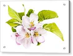 Pink Apple Blossoms Acrylic Print by Elena Elisseeva