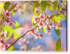 Pink Blossom Acrylic Print by Suradej Chuephanich