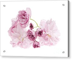 Pink Cherry Blossoms Acrylic Print by Elena Elisseeva