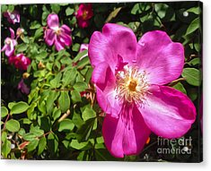 Pink Flower Acrylic Print by Gregory Dyer