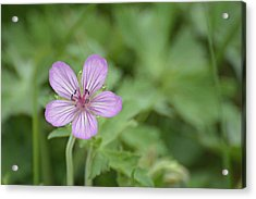 Pink Geranium In Bloom In Yellowstone Acrylic Print by Bruce Gourley