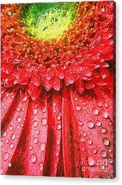 Pink Gerbera Flower Acrylic Print by Odon Czintos