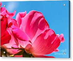 Pink Glory Acrylic Print by Brandon Hussey