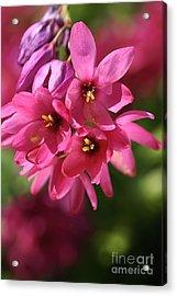 Pink Ixia Acrylic Print by Joy Watson